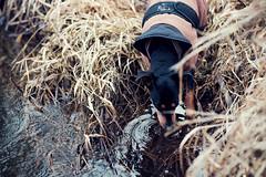 Torup - Statarmuséet - Akira drinking - WEB (manuel ek) Tags: dog perra hund pinscher fujifilm samyang 50mm