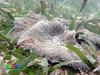 Haddon's carpet anemone (Stichodactyla haddoni) (wildsingapore) Tags: cyrene reef island singapore marine coastal intertidal shore seashore marinelife nature wildlife underwater wildsingapore actiniaria cnidaria