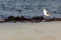 Bécasseau sanderling (Laura Carrier) Tags: bécasseau sanderling calidris alba penn ar bed finsitère brittany bretagne breizh france laura carrier