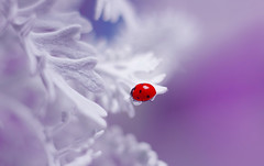 Jacobaea maritima 🐞💜 (ElenAndreeva) Tags: red winter color sun light summer bokeh beautiful closeup cute white insect canon garden purple top soft dream colorful composition sweet focus bug best amazing nature colors macro flower ledybug elegant anemone instagram