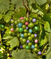The Grape Vine (swong95765) Tags: colors different grapes growing odd rare taste unusual vine visual pretty colorful