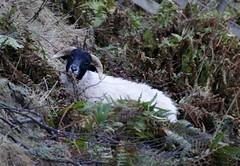 Sheep (chdphd) Tags: lochlee loch lee glenesk glen esk angus