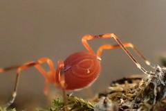 Bright Orange Harvestman Sclerobunus nondimorphicus (Bugldy99) Tags: animal arthropod arthropoda opiliones daddylonglegs harvestman nature paranonychidae armouredharvestman laniatores
