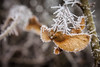 Like wings of an angel (scheuringv) Tags: iceflower frozen winter flügel wings frost wald braun weis kalt frosty canon eos 1100d closeup brown maple ahorn cold ice snow outdoor wander spzieren natur nature grey misty nebel eis