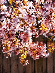 Spring Sunshine (Steve Taylor (Photography)) Tags: art digital pink newzealand nz southisland canterbury christchurch northnewbrighton flower blossom tree cherry