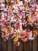 Spring Sunshine (Steve Taylor (Photography)) Tags: art digital pink newzealand nz southisland canterbury christchurch northnewbrighton flower blossom tree cherry