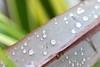La pluie a parfois du bon (ju.labs) Tags: canon canon70d 100mm macro bokeh drop goutte perles vert green focus map nature eau water wow finegold france french iledefrance 94 leperreuxsurmarne bordsdemarne