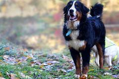 Playfellow (clé manuel) Tags: dog bernese mountain puppy berner sennen hund cute animal sony canon fd 50mm autumn herbst tricolor tricolour