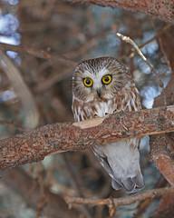 Northern Saw-whet Owl (Keith Carlson) Tags: northernsawwhetowl aegoliusacadicus owls
