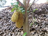 What's that growing on the tree? (Ali_Haikugirl) Tags: tonlésap cambodia travel