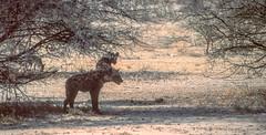 Namibia : Etosha, hyena #2 (foto_morgana) Tags: africa afrika afrique analogphotography analogefotografie animals ethosha hyena mammalia mammals mammifères namibia nature nikoncoolscan outdoor photographieanalogue safari säugetiere travelexperience vuescan wildlife zoogdieren