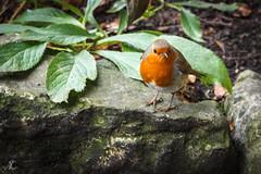 A camera lens inspector (Andrew Coombes) Tags: birds erithacusrubecula fauna robin york