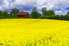 "Canola field • <a style=""font-size:0.8em;"" href=""http://www.flickr.com/photos/126602711@N06/18311177632/"" target=""_blank"">View on Flickr</a>"