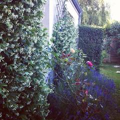 Perfect combo : jasmin, lavande et roses.         #igersniort #mon jardin #jasmin #lavande #rose #roses #fleurs #jardin (nic0v0dka) Tags: square squareformat hudson iphoneography instagramapp uploaded:by=instagram