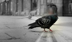 Citizen (Hannhell) Tags: pigeon tampere