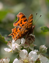 Comma (Alan-Taylor) Tags: canon butterfly 100mm comma 70d sigma1770 bigbutterflycount appicoftheweek
