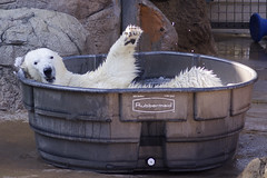 rub-a-dub-dub, a bear in a tub (ucumari photography) Tags: ucumariphotography ursusmaritimus polarbear osopolar ourspolaire oursblanc animal mammal tub oso bear nc north carolina zoo july 2015 dsc9409 北極熊