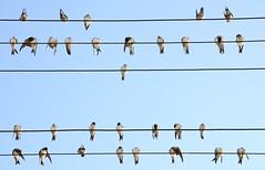 Partitura musical de golondrinas (Hirundo rustica), El Navazuelo. (eustoquio.molina) Tags: golondrinas hirundo rustica el navazuelo granada aves bird partitura musical animal cielo