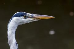 Heron (jackharrybill) Tags: eye heron nature ornithology beady