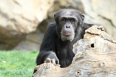 Chimpanzé (olivier.ghettem) Tags: valencia animal monkey spain ape espagne primate valence afrique singe chimpanzé bioparcvalencia