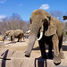 Elephant Says Hello