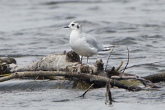 Mouette pygme / Little Gull (lululemay) Tags: