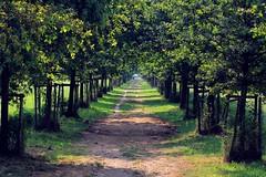una via infinita - an infinte way (immaginaitalia) Tags: park trees italy parco alberi torino la italia boulevard natural piemonte turin piedmont reale viale venaria mandria