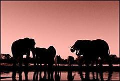 "Last light - last call for drinks! (A.M.G.1) Tags: africa sunset sunlight elephant film andy nature animals female sunrise canon southafrica photography photo flickr natural african wildlife elephants krugernationalpark bigfive kwazulunatal borntobewild big5 goodman endangeredspecies andygoodman elephanttrunk kzn mashatu southafricanwildlife photography"" tuliblock amg1 ultimateshot photographer"" southernafricanwildlife flickrdiamond wildlifesouthafrica theperfectphotographer nginationalgeographicbyitalianpeople btbw goodmanandy fantasticwildlife wild"" amgoodman wildlifeinsouthernafrica africanwildlifephotographer wildilfephotographer"