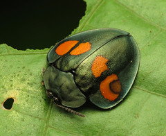 Magnificent Beast (treegrow) Tags: lifeonearth nature canonpowershotsx40hs costarica raynoxdcr250 arthropoda insect beetle coleoptera chrysomelidae stolas taxonomy:genus=stolas