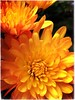 (Ruth Nicholas) Tags: yellowflowers burntorange dahliaflower richcolors prettyflora gardenplants pottedplant