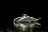DSCF1787-pf.jpg (Gilles Schuilenburg) Tags: zwaan nederland vogels natuurpark lelystad