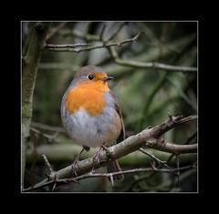Robin (tkimages2011) Tags: olympus digital robin bird tree branches thorns orange red breast sankey valley sthelens merseyside