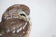 Petite Nyctale - Northern saw-whet owl  Aegolius acadicus (Maxime Legare-Vezina) Tags: bird oiseau nature wild wildlife animal fauna ornithology biodiversity canon winter hiver quebec canada