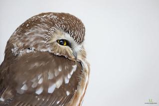 Petite Nyctale - Northern saw-whet owl  Aegolius acadicus