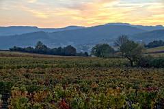 Vigne au coucher du soleil (Chemose) Tags: millylamartine bourgogne burgundy vigne vine vineyard vignoble sunset coucherdesoleil southburgundy bourgognedusud saôneetloire mâconnais france canon eos 7d hdr novembre november automne autumn