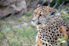 Big Cat (PhotosbyDi) Tags: cheetah bigcat zoo hallsgapzoo bokeh blur hff fencefriday animal spots nikond600 nikonf355628300mmlens