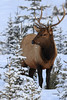 Elk (fred.colbourne) Tags: elk snow trees winter banffnationalpark lakeminnewanka alberta canada wildlife