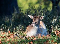 Young Fallow Buck (steve waddingham Follow Me Follow You) Tags: stevenwaddinghamphotography animal wild deer fallow nature sun rest park calke young