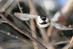 Black-capped Chickadee (Poecile atricapillus) (Gerald (Wayne) Prout) Tags: blackcappedchickadee poecileatricapillus animalia aves chordata passeriformes paridae poecile atricapillus photographed herseylakeconservationarea cityoftimmins northeasternontario canada prout geraldwayneprout canon canoneos60d blackcapped chickadee herseylake hersey lake conservation area timmins northeastern ontario ontarione northernontario birds perchingbirds songbirds