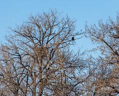 IMG_4045 (Scott Martin - Photographer) Tags: calgary alberta canada ca carburnpark baldeagle eaglenest animals