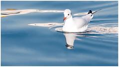 Gabbiano eil suo riflesso (carlo fornitano) Tags: gabbiano uccello ali volare mare animali volatili riflesso