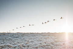 Flying Over The Sun (oandrews) Tags: animal bird birds canon canon70d canonuk cygnuscygnus fauna fenland flight flying frost hundredfootwashes nature naturereserve ousewashes outdoors rspb rspbousewashes swan waterfowl wexmondays whooperswan wildlife wildlifetrusts winter winterwatch manea england unitedkingdom gb