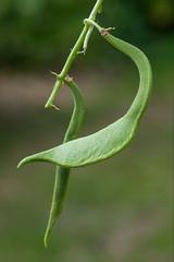 Misshapen runner beans (Alan Buckingham) Tags: allotment disorder distort misshapen polebean problem runnerbean stunted vegetable
