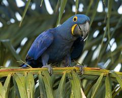 Brazil (richard.mcmanus.) Tags: brazil bird macaw hyacinthmacaw pantanal parrot mcmanus richardmcmanus southamerica
