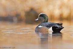 American Wigeon (Gregory Lis) Tags: americanwigeon anasamericana burnabylake britishcolumbia gorylis gregorylis nikond810 duck outside