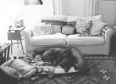 37/365 (moke076) Tags: 2017 365 project 365project project365 oneaday photoaday nikon d7000 tanner chocolate lab labrador retriever dog bed sleeping living room couch night lamp bw animal pet sit
