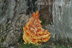 Poliporo sulfureo (Laetiporus sulphureus), Chicken of the Woods or Sulphur Shelf (paolo.gislimberti) Tags: wood bosco alberi trees funghi fungi sottobosco undergrowth