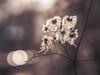 Counterpoint (A_Peach) Tags: g5 olympus panasoniclumixg5 olympusm45mmf18 clematis plant pflanze backlight gegenlicht dof bokeh licht light backlighting apeach anjapietsch mftm43lumixpanasonic microfourthird