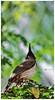 'WHATEVER YOUR DREAM, AIM HIGH' (Ramalakshmi Rajan) Tags: quotes redwhiskeredbulbul bulbul birds nikond5000 nikon nikkor70300mm bokeh