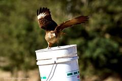 Tiuque (dub_paulo) Tags: ave natural nikon d3200 tiuque chile bird naturaleza